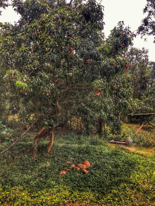 Look at those bright red lychees growing in the backyard of nanajis house in the village